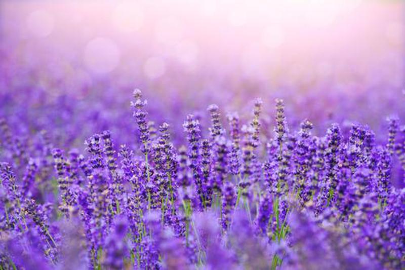 Fox Lavender
