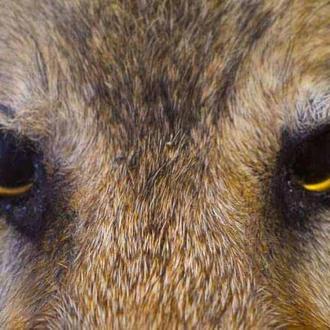 Чучело волчицы