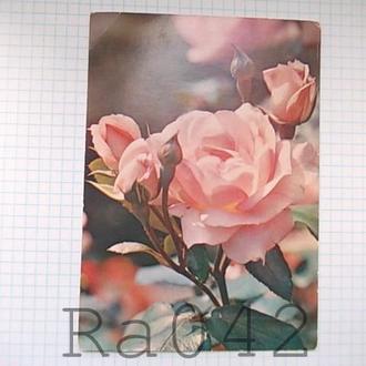 Открытка СССР 1985 Роза Фото Н Матанова цветы