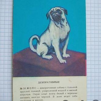 Открытка СССР Собаки декоративные Мопс