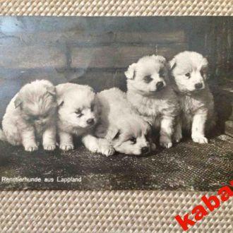 Открытка. Старинная. Собаки. Германия. 1928г.