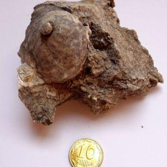 Скам'янілий Халіотіс (Haliotis) 2