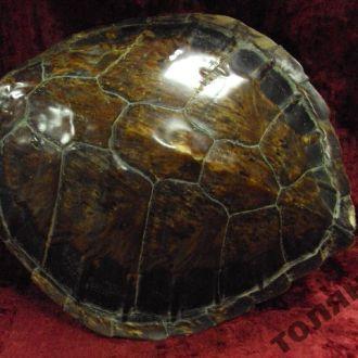 африка черепаха панцирь