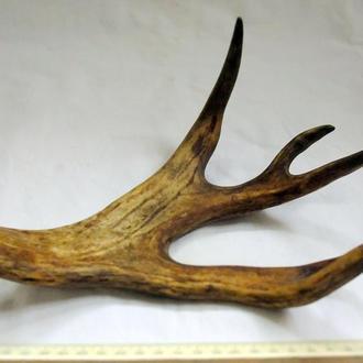 Натуральный рог оленя.