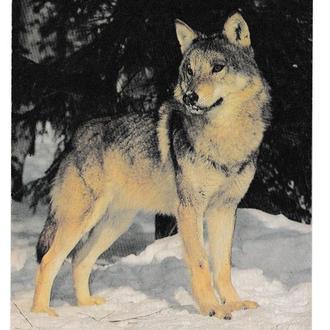 Открытка 1982 Фауна, волк