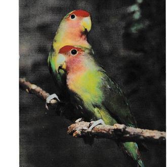 Открытка 1982 Попугаи волнистые