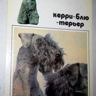 """Керри-блю-терьер"".Декоративная собака.Открытка.+"