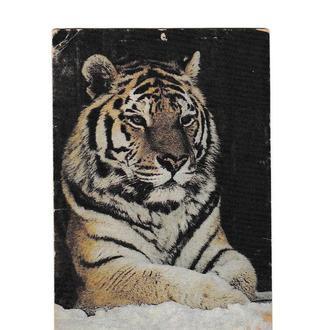 Календарик 1992 Фауна, тигр