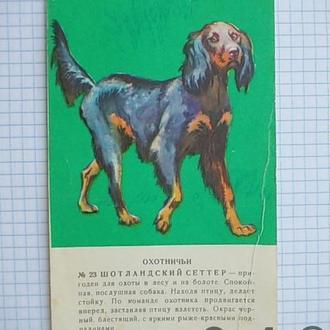 Открытка СССР Собаки охотничьи Шотландский сеттер