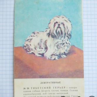 Открытка СССР Собаки декоративные Тибетский терьер