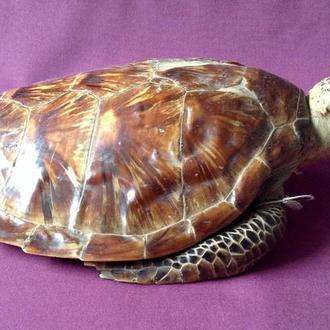 Морская  черепаха. Чучело.