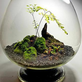 Мини сад в стекле мох и адиантум.