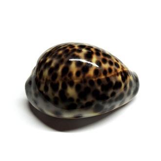 Раковина Cypraea tigris