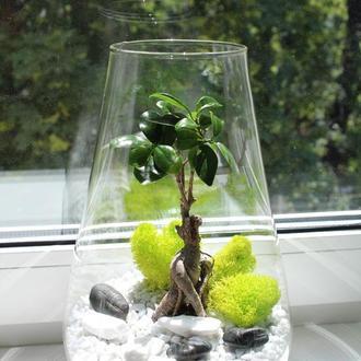 Флорариум бонсай, фикус генсинг в колбе 30 см