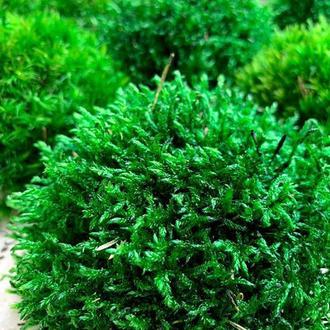 Прованс натуральний стабілізованний мох