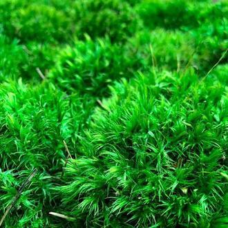 Стабілізованний мох прованс