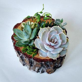 Флорариум (композиция из суккулентов) в деревянном брусе