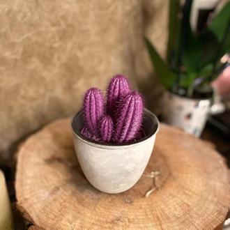 кактус в керамическом кашпо Иллюзия