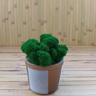 Скандінавський мох ягель у бетонному кашпо. Стильний подарунок.