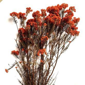 Диосмин (бессмертник) оранжевый
