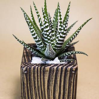 """Деревянный горшок """"Wenge"""" + растение (Haworthia attenuata cv. WIDE ZEBRA)"""