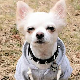 """Ошейник шипами  """"Lockdog"""" на маленькую собаку"""