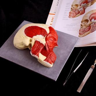 Анатомическая модель костей и мышц головы