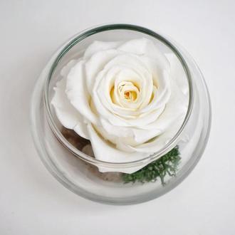 Стабілізована троянда