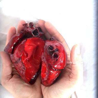 Анатомическое сердце в натуральную величину в разрезе.