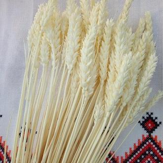 Колосья пшеницы відбілене натуральное.