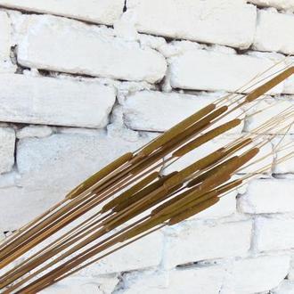Сухоцвет. Камыш(Рогоз) натуральный молодой. Для флористики и декора. 1шт.