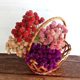 Сухоцвет гомфрена фиолетовая  и красная