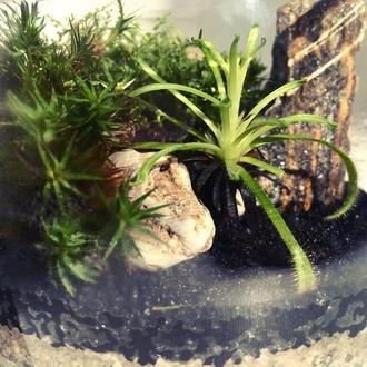 «Парк юрского периода» в колбе. Растение хищник росянка. Флорариум тропический лес