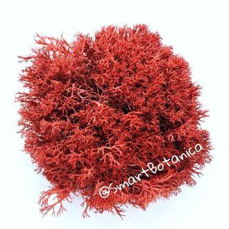 Стабилизированный мох Ягель 50 грамм Красного цвета Red