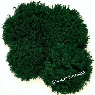 Стабилизированный мох Ягель темно-зеленый 100 грамм