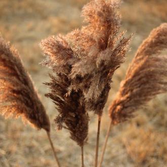 Пампасная трава Декор для дома Тростник Камыш Сухоцветы