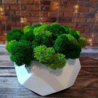 Скандинавський мох ягель в бетонному кашпо. Яскравий подарунок на свята. 13,5*6,5 см.