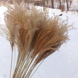 Сухоцвет Мискантус МИНИ. Пампасная трава для букетов.