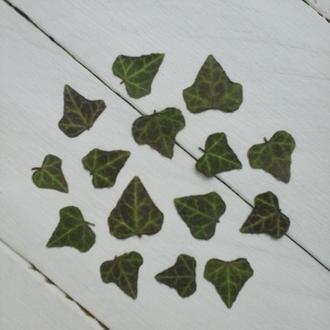 Сухие листья плюща.
