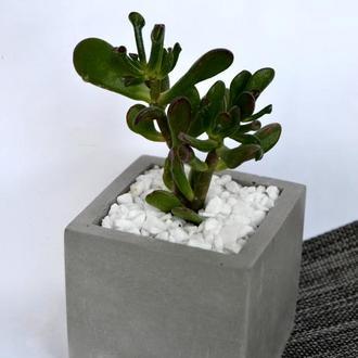 Суккулент Красула в горшке из бетона 8*8 см.Растение в горшке.