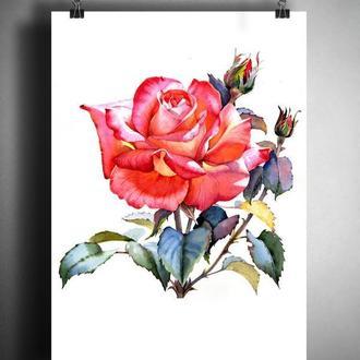 Роза ботаническая иллюстрация в акварельной технике. Авторская картина распечатанная на холсте