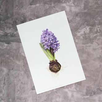 Принт Hyacinth
