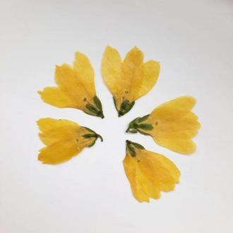 Желтые цветы форзиции.