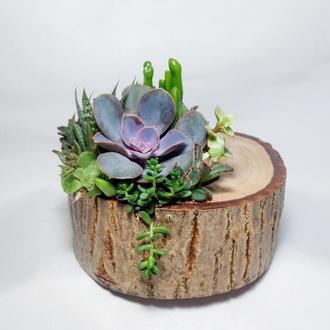 Флорариум из суккулентов в деревянном пеньке