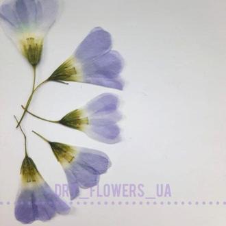 Цветы кислицы, синие, поштучно.