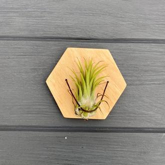 Настінне кашпо для повітряних рослин (тілландсія) І Настінний тримач для повітряних рослин
