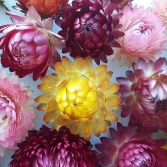 Сухоцветы. Гелихризум. Набор 40 шт.