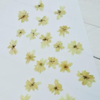 Квіти жасмину. Сухоцвіт.