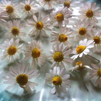 40 штук Сухие цветы, сушеные ромашки, прессованные цветы, гербарий