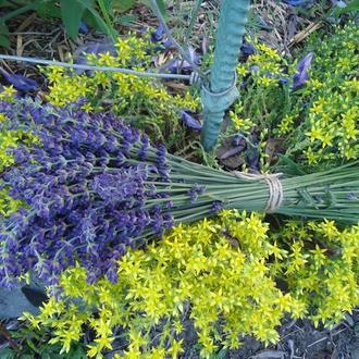 Свежие цветы лаванды